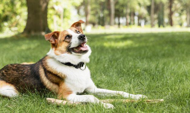 Rozwiązanie na kaszel u psa
